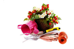 Spring flowers in the pot and garden tools isolated Stock Photography