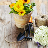 Spring flowers in the pot and garden tools  on an old wooden tab Royalty Free Stock Photos