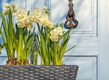 Spring flowers in a pot on the street. royalty free stock photography