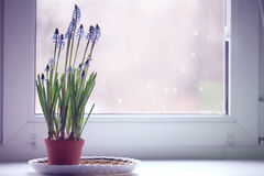 Spring flowers in a pot on the window Royalty Free Stock Photos