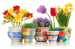Spring flowers in pots royalty free stock photo
