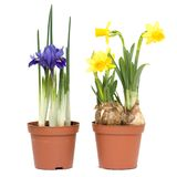 Spring flowers in pots Stock Photos