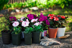 Spring flowers in the pots. Stock Image