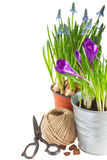 Spring flowers in pots. With gardening tools close up isolated on white background royalty free stock photography