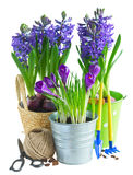 Spring flowers in pots. Spring growing flowers in pots with gardening tools on white background royalty free stock photos