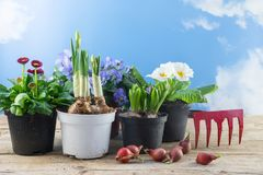 Spring flowers in pots and some flower bulbs on rustic wooden bo. Different spring flowers in pots and some flower bulbs on rustic wooden boards against the blue Royalty Free Stock Photo