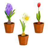 Spring flowers in pots Royalty Free Stock Images