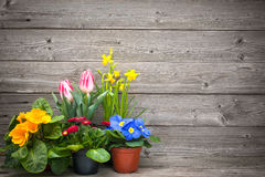 Spring flowers in pots on wooden background. Tulips, primulas, daffodils Royalty Free Stock Images