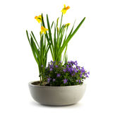 Spring flowers potted as easter decoration, daffodils and bluebe Royalty Free Stock Photo