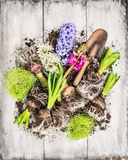 Spring flowers potting with hyacinth , bulbs, Tubers, shovel and soil, composing. On white wooden background, top view royalty free stock photos