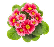 Spring flowers primrose Pink primulas Stock Photo