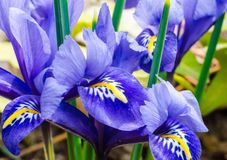Spring flowers, primroses, bright blue irises and bright yellow Royalty Free Stock Image