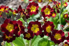 Spring flowers: primroses Royalty Free Stock Image