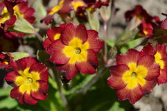 Spring flowers: primroses Royalty Free Stock Photo