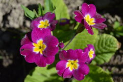 Spring flowers: primroses Stock Photography