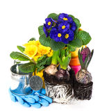 Spring flowers primroses and hyacinth Stock Image