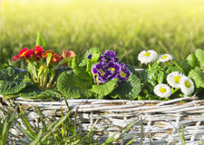 Spring flowers, primula and daisies on lawn Royalty Free Stock Photo