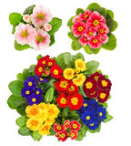 Spring flowers Primula isolated on white background Royalty Free Stock Photography