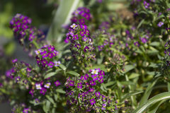 Spring flowers purple. Spring flowers purple in the flowerbed greenhouse Stock Photo