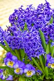 Spring Flowers, Purple Hyacinths and Pansies. Blooming spring bulb flowers.  Purple hyacinth bulbs and yellow and purple pansies blooming next to each other stock images
