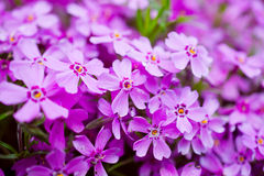 Spring flowers. Purple spring flowers are small and fragrant Stock Photos