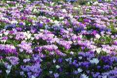 Spring flowers purple white field Stock Image
