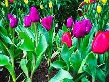 Spring flowers purple and yellow tulips in the garden Royalty Free Stock Images