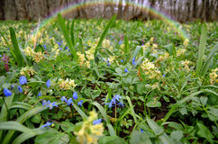 Spring flowers and a rainbow. After the rain Stock Images