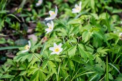 Spring flowers reach for the sun. Anemone flower bloom in April. Spring flowers reach for the sun. Beautiful white petals on the background of green leaves stock photos