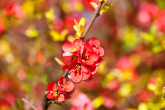 Spring flowers. Red and pink spring blooming flowers Stock Image
