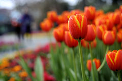 Free Spring Flowers, Red Tulips Royalty Free Stock Image - 24136826