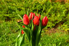 Spring flowers. Red tulips  spring ambience, April easter time, bouquet, March womens day, the sun sad end of winter, blooming gardens, green grass background Stock Photography