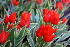 Spring flowers red tulips. Blue flowers forest spring rain expectations tulips stock photo