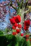 Spring Flowers. Red tulips and pink cherry blossom in spring garden Royalty Free Stock Photo