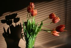 Spring flowers red tulips in vase Stock Image