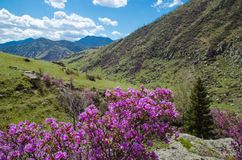 Spring flowers rhododendron of the Western Siberia stock photo