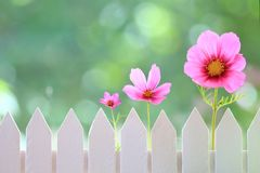 Spring Flowers. Row of pink flowers in front of a white picket fence Royalty Free Stock Photo
