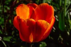 Orange Tulip flower in Spring. Beautiful open orange Tulip flower in spring time, Kaliningrad, Russia stock photography