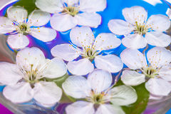 Spring flowers of sakura Royalty Free Stock Photos