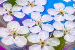 Spring flowers of sakura Royalty Free Stock Photos