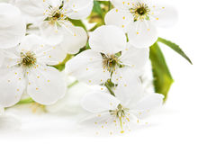 Spring flowers of sakura Royalty Free Stock Images