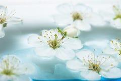 Spring flowers of sakura stock photo