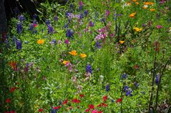 Spring flowers at San Antonio Botanical Gardens. A mix of springtime wildflowers bloom in a living bed at San Antonio Botanical Gardens in Texas stock photo