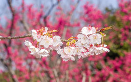 Spring flowers series, Beautiful Cherry blossom , pink sakura Royalty Free Stock Images