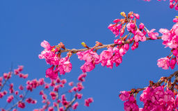 Spring flowers series, Beautiful Cherry blossom , pink sakura Royalty Free Stock Image