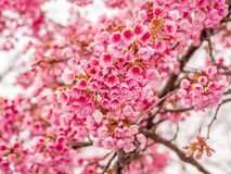 Spring flowers series, Beautiful Cherry blossom Royalty Free Stock Photo