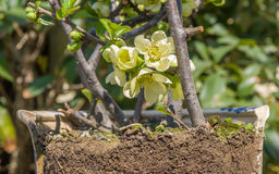 Spring flowers series, chaenomeles speciosa. Spring flowers series, light green flowers on the branches flowering chaenomeles speciosa (chinese quince flowers stock photo