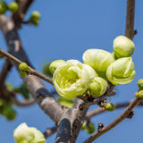 Spring flowers series, chaenomeles speciosa. Spring flowers series, light green flowers on the branches flowering chaenomeles speciosa (chinese quince flowers stock images