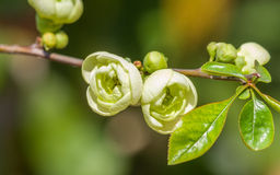 Spring flowers series, chaenomeles speciosa. Spring flowers series, light green flowers on the branches flowering chaenomeles speciosa (chinese quince flowers royalty free stock photos