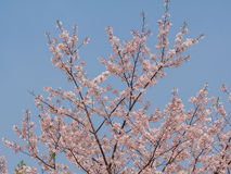 Spring flowers series, Cherry Blossoms Royalty Free Stock Image